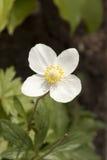 Anemone sylvestris - a perennial herb Royalty Free Stock Image