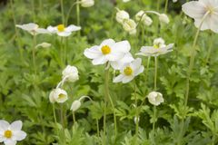 Anemone Sylvestris Ranunculaceae white flowers with a yellow core. Beautiful flowers with delicate white petals. royalty free stock images
