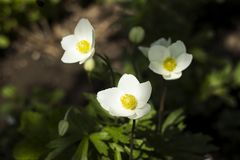 Anemone sylvestris snowdrop anemone is a perennial plant flowering in spring, white flowers in the botanical garden, background. Spring concept stock photo