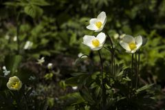 Anemone sylvestris snowdrop anemone is a perennial plant flowering in spring, white flowers in the botanical garden, background. Spring concept royalty free stock photography
