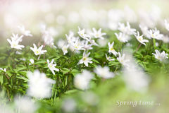 Anemone sylvestris in spring forest Royalty Free Stock Photo