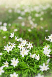 Anemone sylvestris in spring forest Stock Image