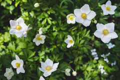 The anemone sylvestris Stock Photography