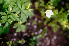 Anemone sylvestris - white spring flowers in spring garden. Green glade with white anemone flowers in spring garden. Flora of Ukraine. Shallow depth of field royalty free stock photography