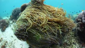 Anemone Tentacles Waving in Currents. Anemone tentacles wave in currents in Komodo National Park, Indonesia. This tropical area of the Lesser Sunda Islands stock video footage
