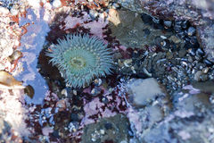Anemone in tide pool Stock Photos