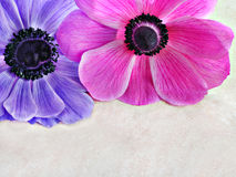 Anemone top border with copy space. Stock Photography