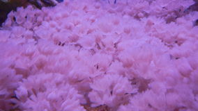 An Anemone on tropical coral reef stock video footage