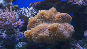 An Anemone on tropical coral reef stock footage