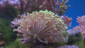 An Anemone on tropical coral reef stock video
