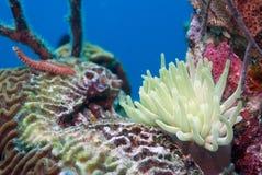 Anemone u. Bristleworm stockfoto
