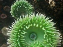 Anemone in un raggruppamento di marea Fotografie Stock
