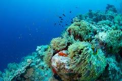 Anemone und clownfish lizenzfreie stockfotografie