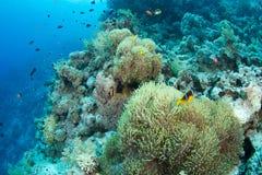 Anemone und clownfish Stockbilder