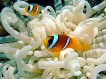 Anemone und Fische Lizenzfreies Stockfoto