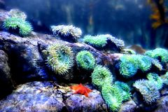 Anemone und orange Starfish Stockfotos