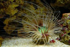 Anemone underwater. Underwater or undersea view of sea anemone Stock Photo
