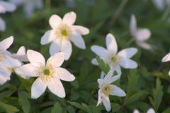 Anemone White Imagens de Stock