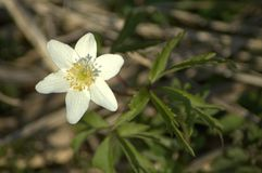 Anemone White Imagem de Stock