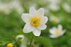 Anemone Royalty Free Stock Photography