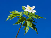 Anemone white flower on blue sky background Stock Photography