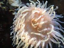 Anemone. White Sea Anemone Royalty Free Stock Photo