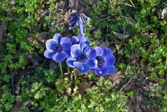 Anemone or wild-flower. It blooms in spring and comes in different colors, here is a blue flower royalty free stock photo