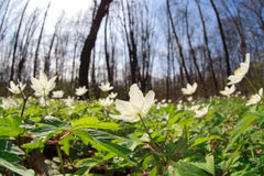 Anemone wild flowers in forest Royalty Free Stock Photos