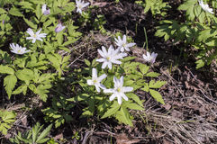 Anemone, windfall (Anemone sylvestris). Early primroses in the spring wood: anemone, windfall (Anemone sylvestris Royalty Free Stock Image