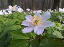 Anemone windflower - δάσος στοκ φωτογραφία με δικαίωμα ελεύθερης χρήσης