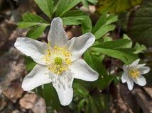 Anemone windflower - αδελφοί στοκ φωτογραφίες