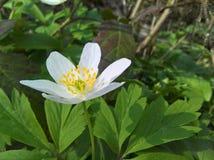Anemone windflower - βαθύς στοκ φωτογραφία με δικαίωμα ελεύθερης χρήσης