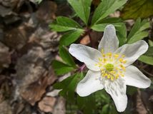 Anemone windflower - ενιαίος στοκ φωτογραφίες