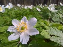 Anemone windflower - θέση στοκ φωτογραφίες με δικαίωμα ελεύθερης χρήσης