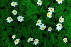 Anemone (windflower) Fotografia Stock Libera da Diritti