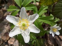 Anemone windflower - brothers Stock Photos