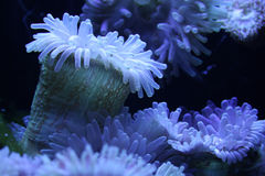 Anemone001 Royalty Free Stock Image