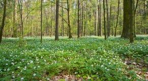 Anemoneblumenbett am laubwechselnden Wald Stockbild