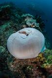 Anemonefish和礁石 免版税图库摄影