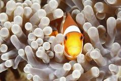 anemonefish小丑 库存图片