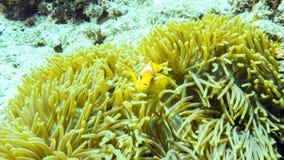 Anemonefish掩藏在它的银莲花属的,马尔代夫 免版税库存照片