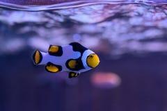 Anemonefish, clownfish,在鱼的眼睛的nemo焦点 库存照片