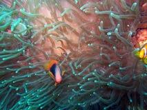 Anemonefish ή ψάρια κλόουν Στοκ φωτογραφίες με δικαίωμα ελεύθερης χρήσης