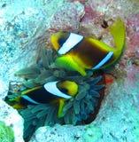 Anemonefish ή clownfish ζεύγος στη Ερυθρά Θάλασσα Στοκ Εικόνα