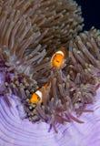 anemonefish δύο Στοκ Φωτογραφία
