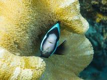 anemonefish εξετάζει το anemone Στοκ εικόνα με δικαίωμα ελεύθερης χρήσης