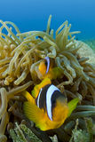 anemonefish Ερυθρά Θάλασσα ζευγ&alph Στοκ Φωτογραφίες