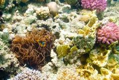 anemonefish Ερυθρά Θάλασσα Στοκ εικόνα με δικαίωμα ελεύθερης χρήσης