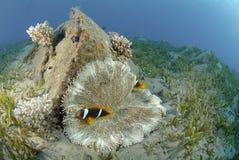 anemonefish Ερυθρά Θάλασσα Στοκ Φωτογραφία
