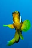anemonefish Ερυθρά Θάλασσα Στοκ φωτογραφία με δικαίωμα ελεύθερης χρήσης